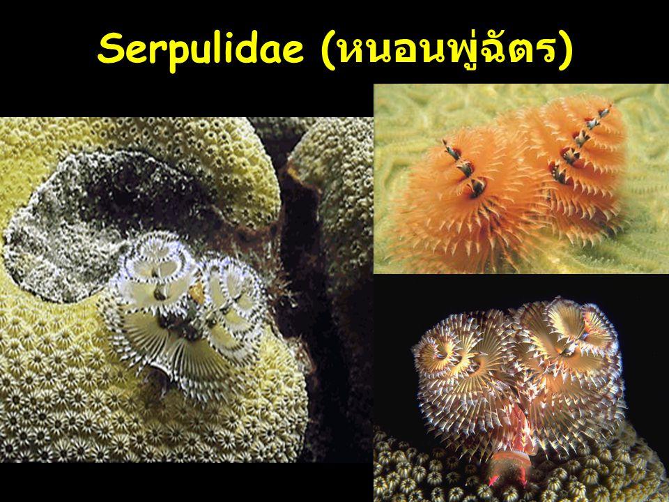 13 Serpulidae ( หนอนพู่ฉัตร )