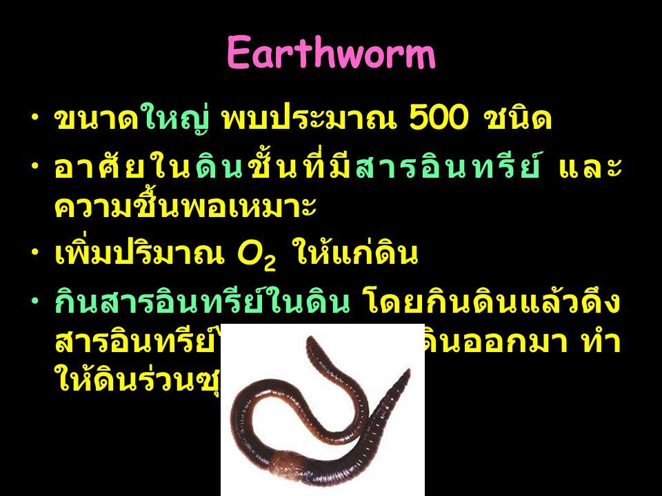 20 Earthworm ขนาดใหญ่ พบประมาณ 500 ชนิด อาศัยในดินชั้นที่มีสารอินทรีย์ และ ความชื้นพอเหมาะ เพิ่มปริมาณ O 2 ให้แก่ดิน กินสารอินทรีย์ในดิน โดยกินดินแล้ว