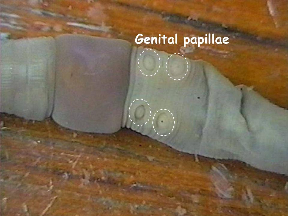 26 Genital papillae