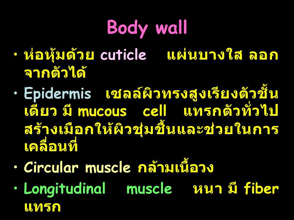 28 Body wall ห่อหุ้มด้วย cuticle แผ่นบางใส ลอก จากตัวได้ Epidermis เซลล์ผิวทรงสูงเรียงตัวชั้น เดียว มี mucous cell แทรกตัวทั่วไป สร้างเมือกให้ผิวชุ่มช