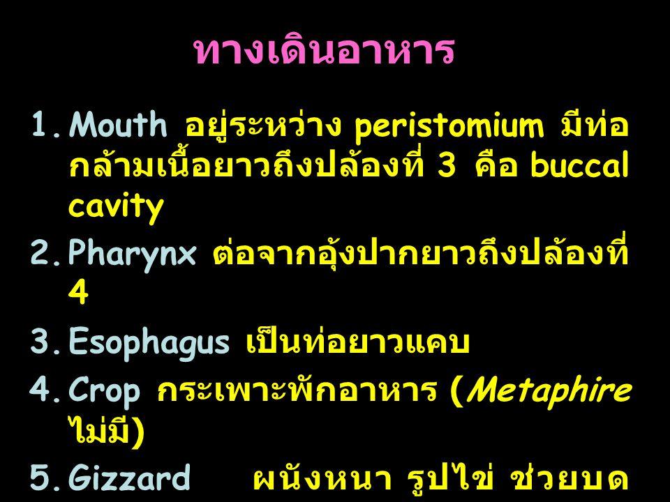 30 ทางเดินอาหาร 1.Mouth อยู่ระหว่าง peristomium มีท่อ กล้ามเนื้อยาวถึงปล้องที่ 3 คือ buccal cavity 2.Pharynx ต่อจากอุ้งปากยาวถึงปล้องที่ 4 3.Esophagus