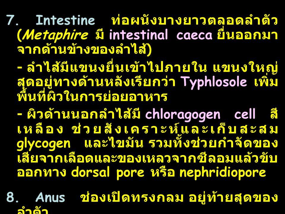 33 7. Intestine ท่อผนังบางยาวตลอดลำตัว (Metaphire มี intestinal caeca ยื่นออกมา จากด้านข้างของลำไส้ ) - ลำไส้มีแขนงยื่นเข้าไปภายใน แขนงใหญ่ สุดอยู่ทาง