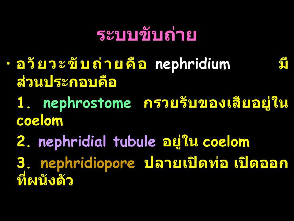 42 ระบบขับถ่าย อวัยวะขับถ่ายคือ nephridium มี ส่วนประกอบคือ 1. nephrostome กรวยรับของเสียอยู่ใน coelom 2. nephridial tubule อยู่ใน coelom 3. nephridio