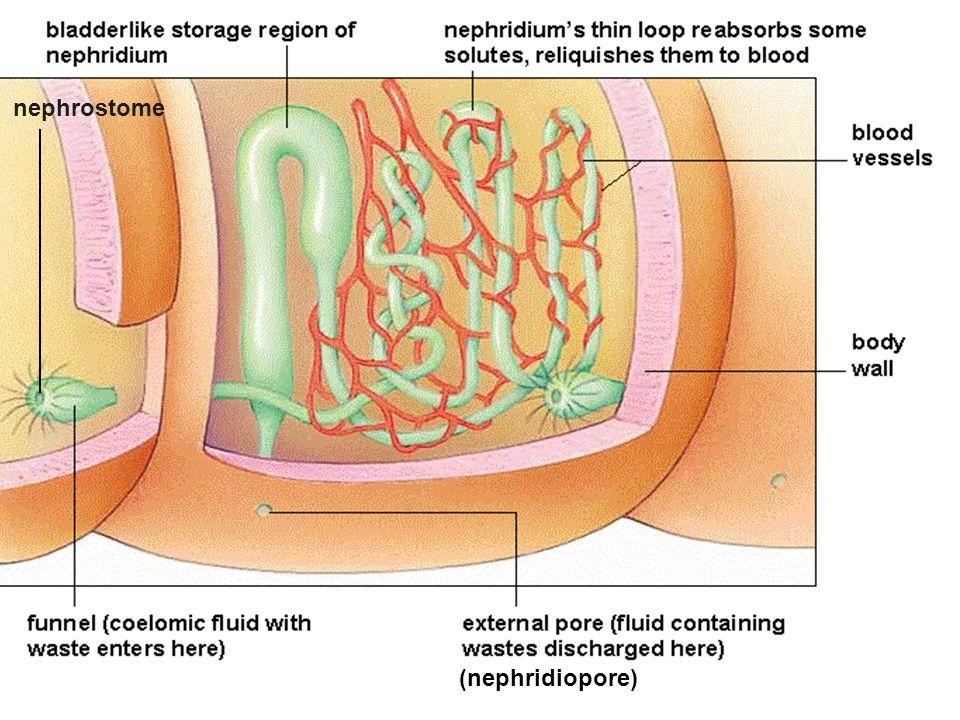 45 (nephridiopore) nephrostome