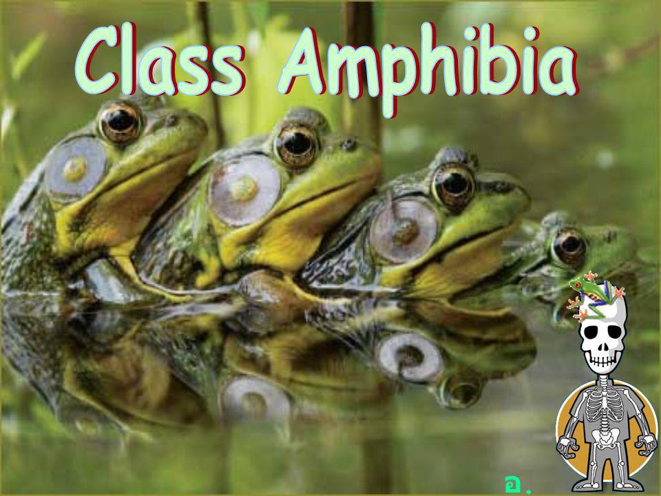 Class Amphibia สัตว์สะเทินน้ำสะเทินบก เพราะในวัฏจักร ชีวิตจะมีช่วงหนึ่งที่อาศัยในน้ำและบาง ช่วงอยู่บนบก ผิวหนังชื้น ไม่มีเกล็ด ส่วนใหญ่สืบพันธุ์ในน้ำ ไม่สามารถอยู่บน บกได้ตลอด เพศแยก ตัวอ่อนที่อยู่ในน้ำรูปร่างคล้าย ปลา มีการเปลี่ยนแปลงรูปร่างระหว่าง การเจริญเติบโต ไข่มีวุ้นหุ้ม จำแนกออกได้ 3 Order คือ 1.
