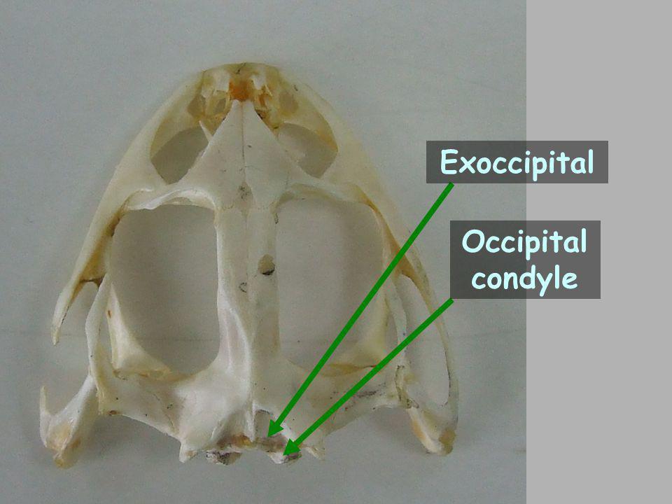 Exoccipital Occipital condyle