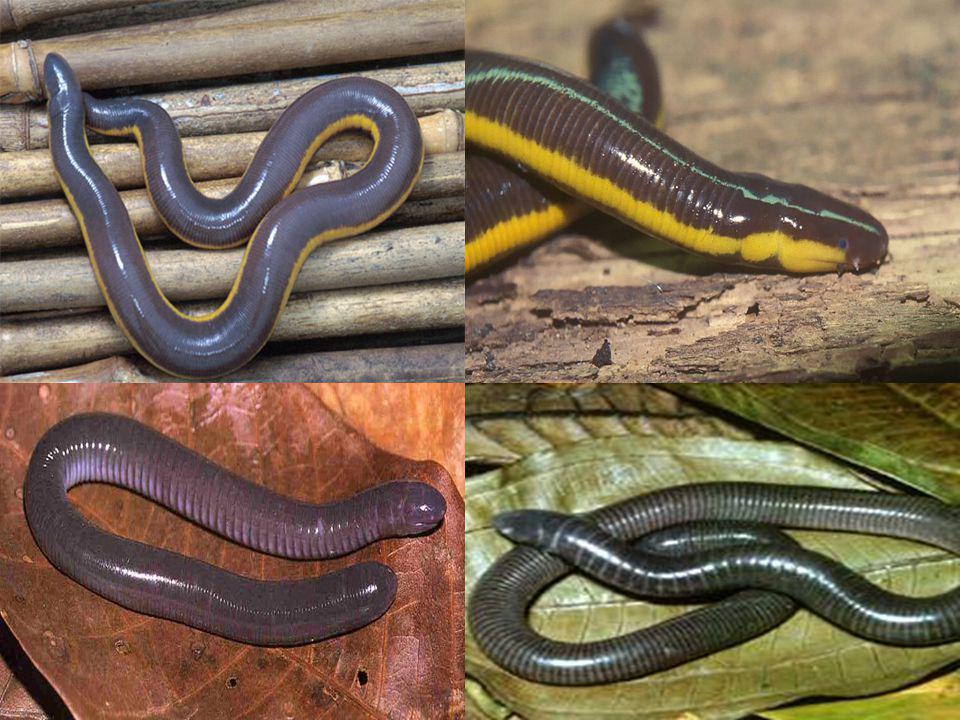Order Urodela สัตว์สะเทินน้ำสะเทินบกที่มีหาง ( กะ ท่าง หรือ จักกิ้มน้ำ salamander, newt) ขาสั้นตั้งฉากกับลำตัวและไม่สามารถ งอเข้าหาลำตัว เคลื่อนที่ช้าและไม่ สามารถยกตัวขึ้นจากพื้น