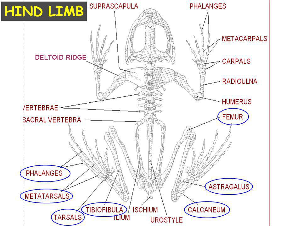 DELTOID RIDGE HIND LIMB