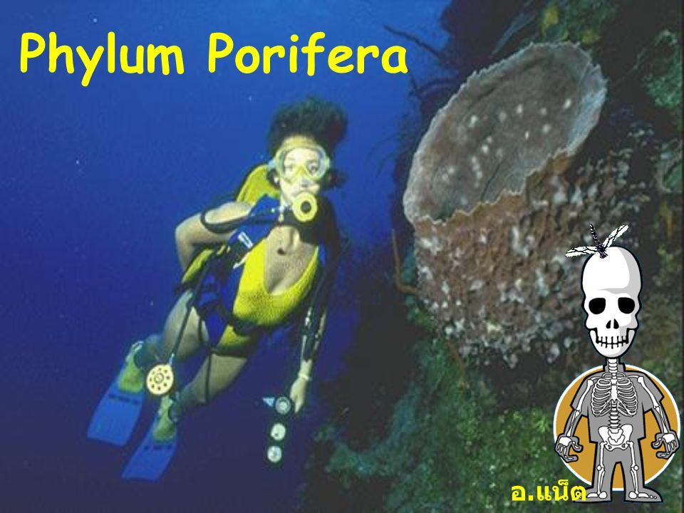 1 Phylum Porifera อ. แน็ต