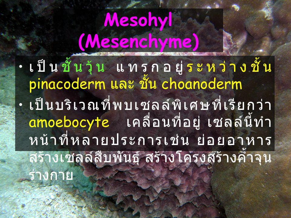 11 Mesohyl (Mesenchyme) เป็นชั้นวุ้น แทรกอยู่ระหว่างชั้น pinacoderm และ ชั้น choanoderm เป็นบริเวณที่พบเซลล์พิเศษที่เรียกว่า amoebocyte เคลื่อนที่อยู่