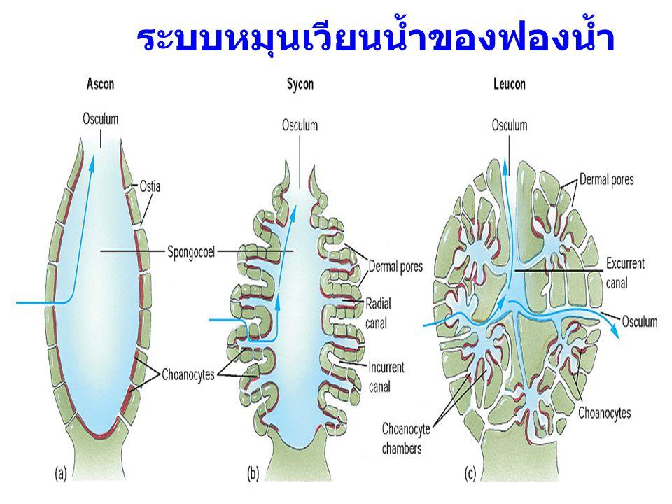 15 ระบบหมุนเวียนน้ำของฟองน้ำ