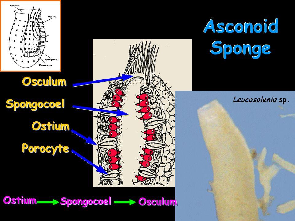 16 Asconoid Sponge OstiumOstium SpongocoelSpongocoel OsculumOsculum PorocytePorocyte OstiumOstium SpongocoelSpongocoel OsculumOsculum Leucosolenia sp.
