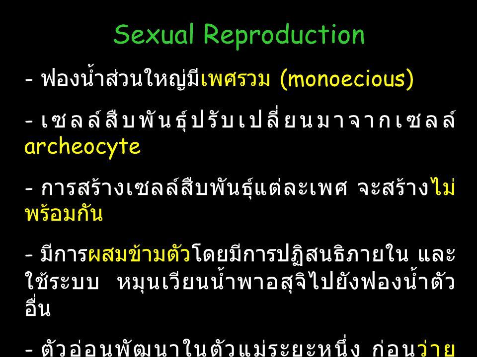 25 Sexual Reproduction - ฟองน้ำส่วนใหญ่มีเพศรวม (monoecious) - เซลล์สืบพันธุ์ปรับเปลี่ยนมาจากเซลล์ archeocyte - การสร้างเซลล์สืบพันธุ์แต่ละเพศ จะสร้าง