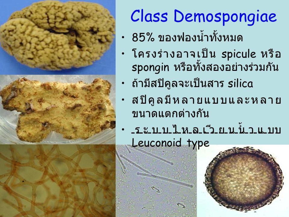 34 Class Demospongiae 85% ของฟองน้ำทั้งหมด โครงร่างอาจเป็น spicule หรือ spongin หรือทั้งสองอย่างร่วมกัน ถ้ามีสปิคูลจะเป็นสาร silica สปิคูลมีหลายแบบและ