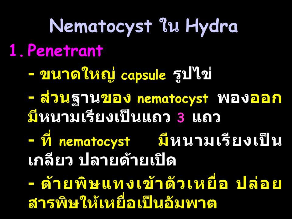 Nematocyst ใน Hydra 1.Penetrant - ขนาดใหญ่ capsule รูปไข่ - ส่วนฐานของ nematocyst พองออก มีหนามเรียงเป็นแถว 3 แถว - ที่ nematocyst มีหนามเรียงเป็น เกลียว ปลายด้ายเปิด - ด้ายพิษแทงเข้าตัวเหยื่อ ปล่อย สารพิษให้เหยื่อเป็นอัมพาต