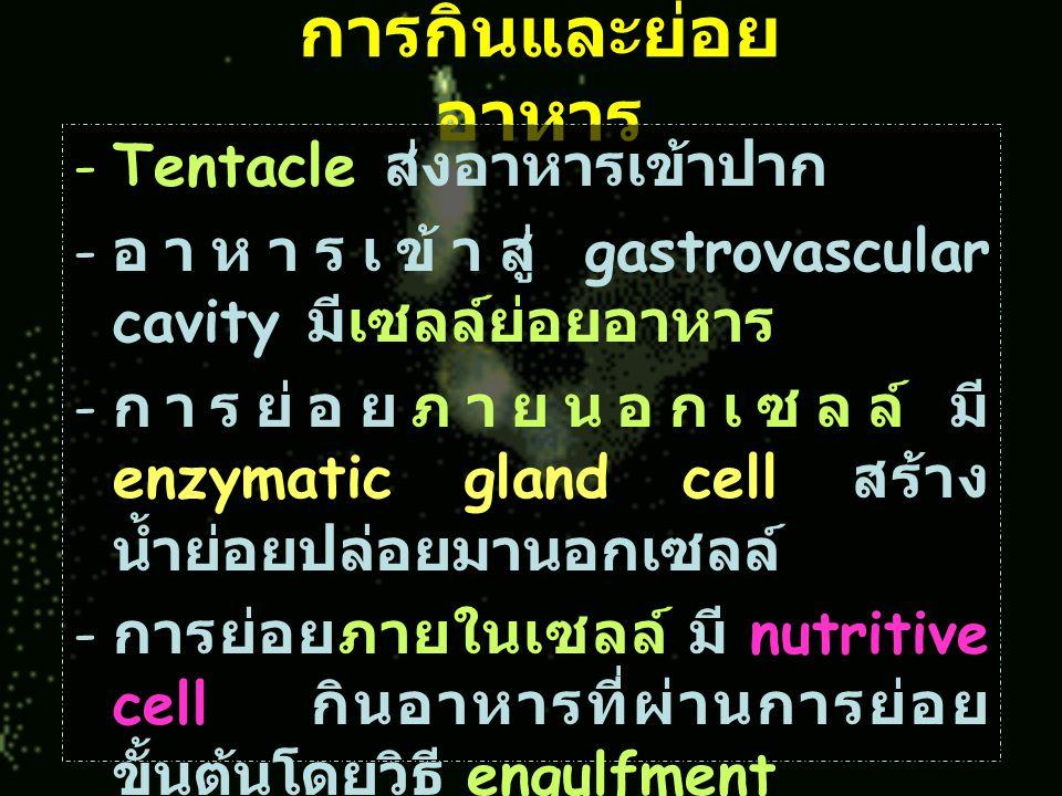 การกินและย่อย อาหาร -Tentacle ส่งอาหารเข้าปาก - อาหารเข้าสู่ gastrovascular cavity มีเซลล์ย่อยอาหาร - การย่อยภายนอกเซลล์ มี enzymatic gland cell สร้าง น้ำย่อยปล่อยมานอกเซลล์ - การย่อยภายในเซลล์ มี nutritive cell กินอาหารที่ผ่านการย่อย ขั้นต้นโดยวิธี engulfment