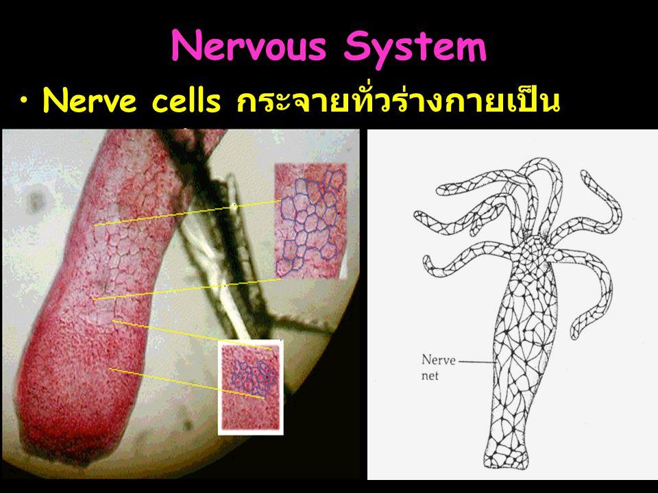 Nervous System Nerve cells กระจายทั่วร่างกายเป็น nerve net