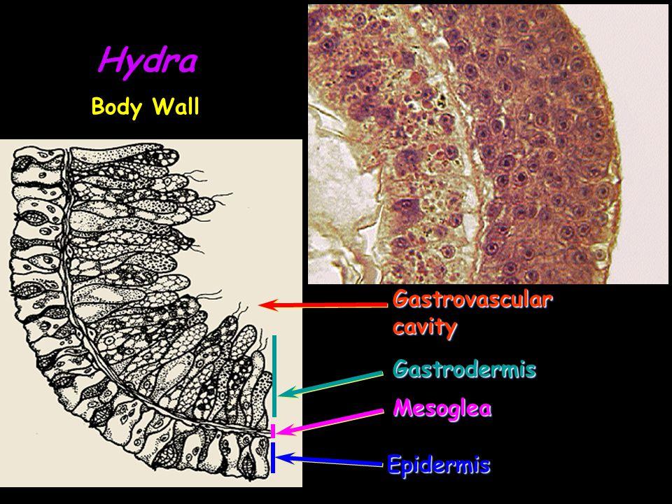GastrovascularcavityGastrovascularcavity EpidermisEpidermis MesogleaMesoglea GastrodermisGastrodermis Hydra Body Wall