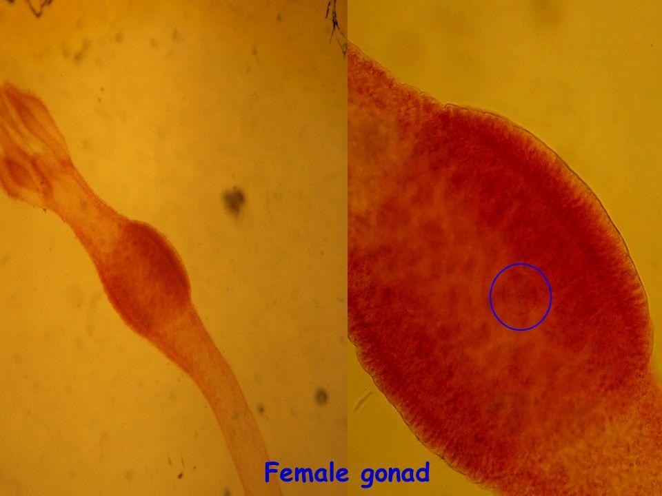 Female gonad