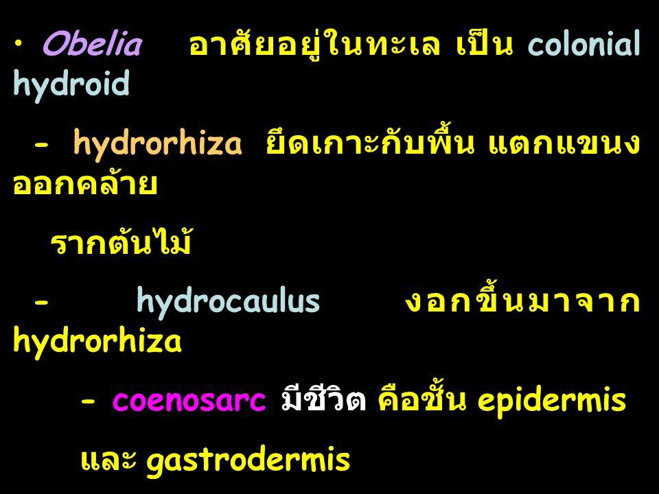 Obelia อาศัยอยู่ในทะเล เป็น colonial hydroid - hydrorhiza ยึดเกาะกับพื้น แตกแขนง ออกคล้าย รากต้นไม้ - hydrocaulus งอกขึ้นมาจาก hydrorhiza - coenosarc มีชีวิต คือชั้น epidermis และ gastrodermis - perisarc ไม่มีชีวิต เป็นสาร chitin ที่ epidemis สร้างขึ้น