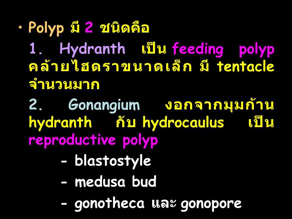 Polyp มี 2 ชนิดคือ 1.Hydranth เป็น feeding polyp คล้ายไฮดราขนาดเล็ก มี tentacle จำนวนมาก 2.
