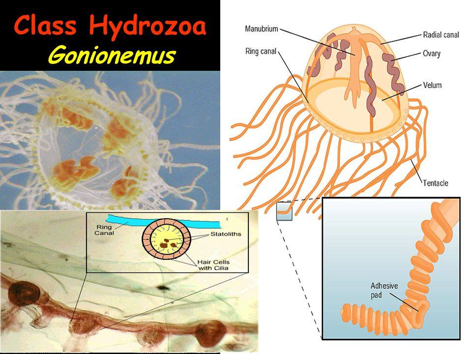 Class Hydrozoa Gonionemus