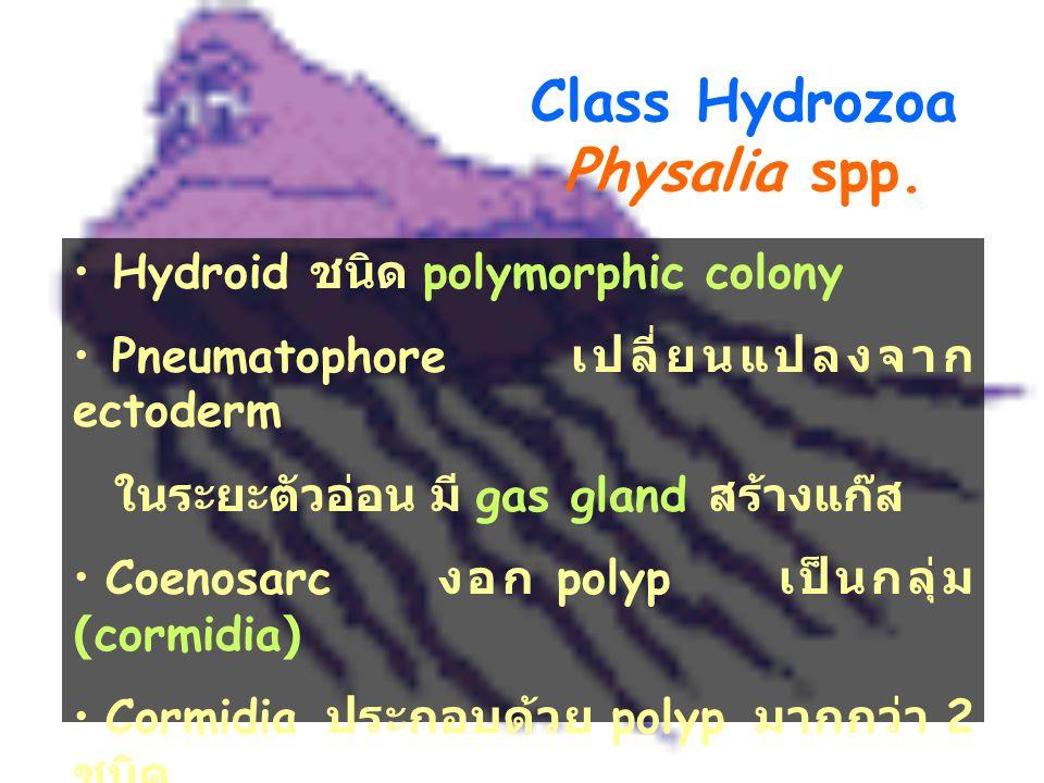 Class Hydrozoa Physalia spp.