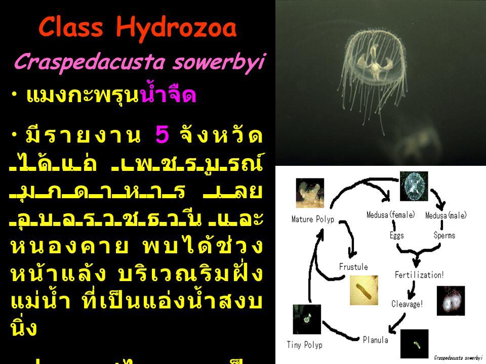 Class Hydrozoa Craspedacusta sowerbyi แมงกะพรุนน้ำจืด มีรายงาน 5 จังหวัด ได้แก่ เพชรบูรณ์ มุกดาหาร เลย อุบลราชธานี และ หนองคาย พบได้ช่วง หน้าแล้ง บริเวณริมฝั่ง แม่น้ำ ที่เป็นแอ่งน้ำสงบ นิ่ง ประเทศไทยพบเป็น ลำดับที่ 6 ของโลก