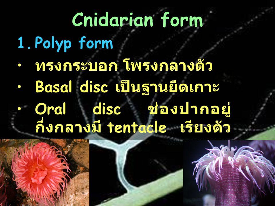 Cnidarian form 1.Polyp form ทรงกระบอก โพรงกลางตัว Basal disc เป็นฐานยึดเกาะ Oral disc ช่องปากอยู่ กึ่งกลางมี tentacle เรียงตัว อยู่รอบ