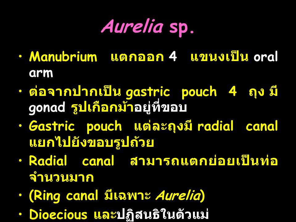 Aurelia sp.