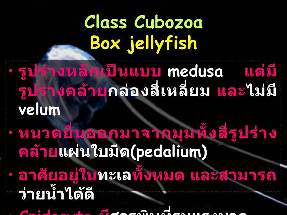 Class Cubozoa Box jellyfish รูปร่างหลักเป็นแบบ medusa แต่มี รูปร่างคล้ายกล่องสี่เหลี่ยม และไม่มี velum หนวดยื่นออกมาจากมุมทั้งสี่รูปร่าง คล้ายแผ่นใบมีด (pedalium) อาศัยอยู่ในทะเลทั้งหมด และสามารถ ว่ายน้ำได้ดี Cnidocyte มีสารพิษที่รุนแรงมาก
