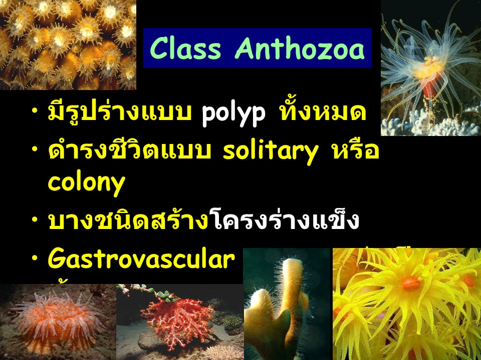 Class Anthozoa มีรูปร่างแบบ polyp ทั้งหมด ดำรงชีวิตแบบ solitary หรือ colony บางชนิดสร้างโครงร่างแข็ง Gastrovascular cavity แบ่งเป็น ห้องๆ อยู่ในทะเลทั้งหมด