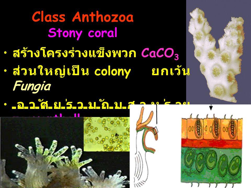 Class Anthozoa Stony coral สร้างโครงร่างแข็งพวก CaCO 3 ส่วนใหญ่เป็น colony ยกเว้น Fungia อาศัยร่วมกับสาหร่าย zooxanthellae ถูกรบกวนจะหดตัว