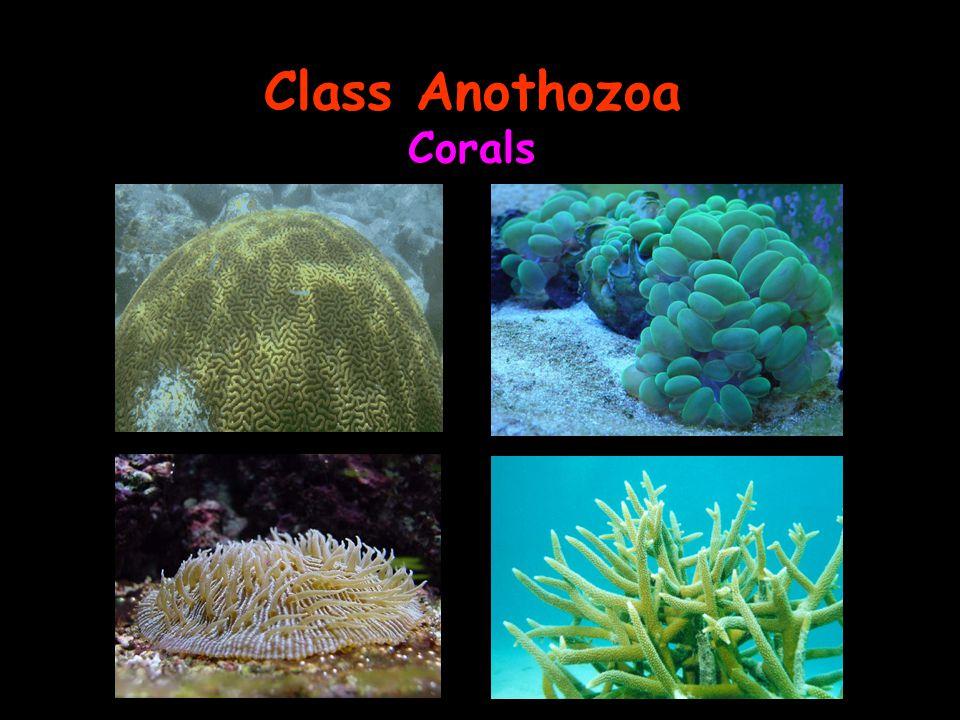 Class Anothozoa Corals