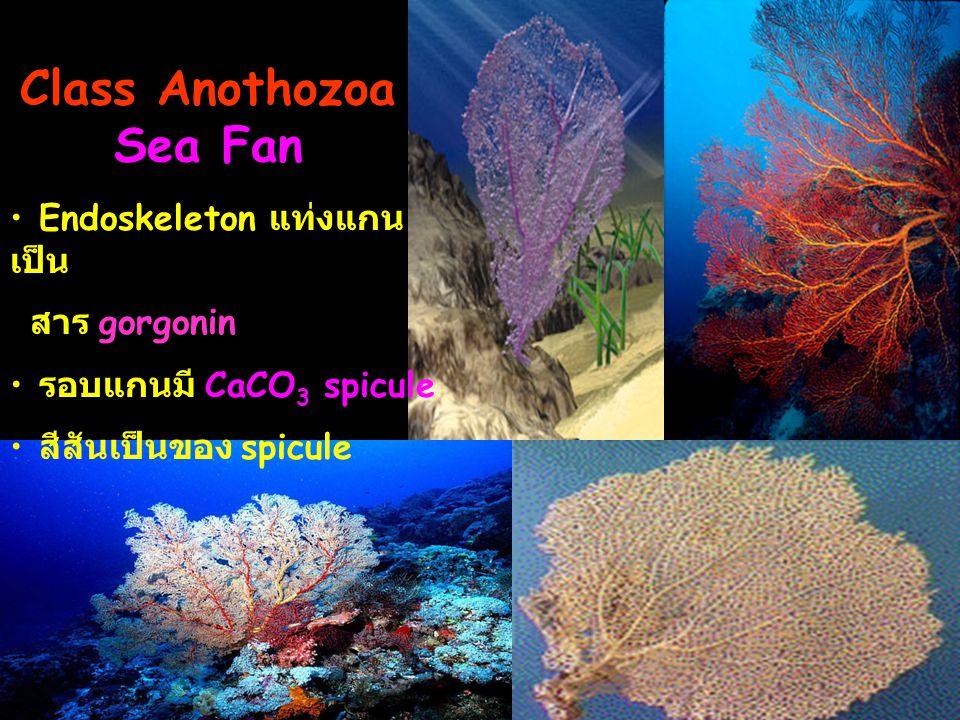 Class Anothozoa Sea Fan Endoskeleton แท่งแกน เป็น สาร gorgonin รอบแกนมี CaCO 3 spicule สีสันเป็นของ spicule