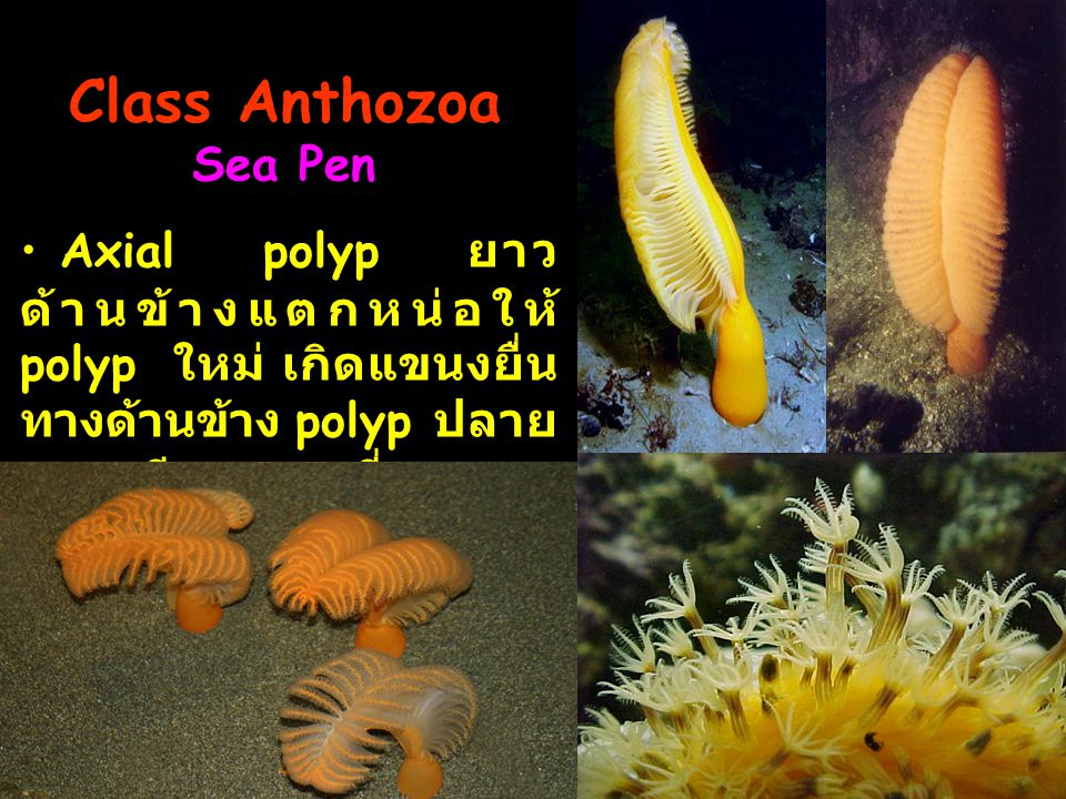 Class Anthozoa Sea Pen Axial polyp ยาว ด้านข้างแตกหน่อให้ polyp ใหม่ เกิดแขนงยื่น ทางด้านข้าง polyp ปลาย แขนงมีอายุมากที่สุด