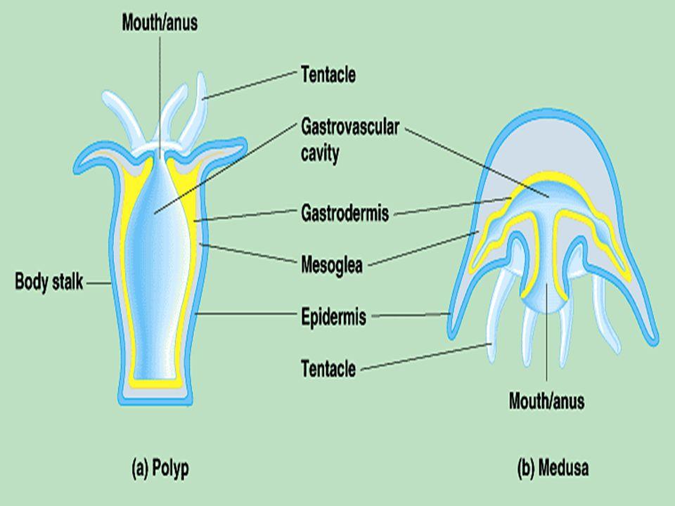 Cnidocyte เซลล์พิเศษมีหน้าที่ป้องกันตัวและ จับอาหาร Cnidocil รับสัมผัส Nematocyst เป็น organelle ที่ เซลล์สร้างขึ้น ประกอบด้วย capsule ที่มีฝาปิด (operculum) ภายในมีเส้นด้ายพิษขดอยู่