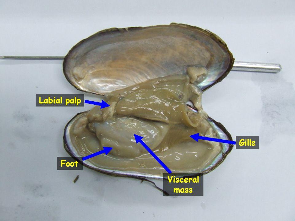 Foot Gills Visceral mass Labial palp