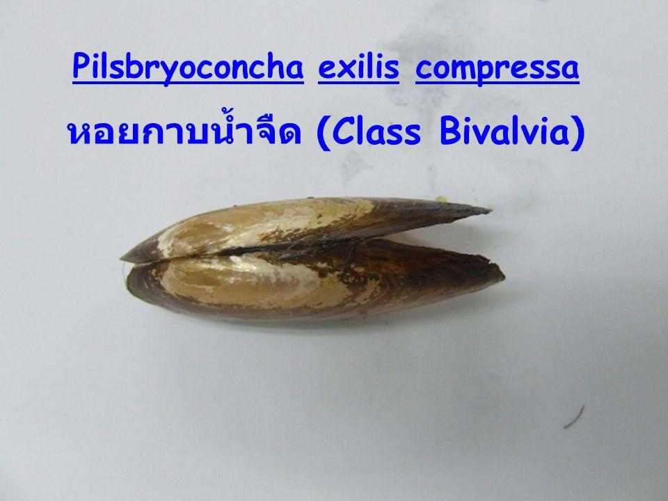 Pilsbryoconcha exilis compressa หอยกาบน้ำจืด (Class Bivalvia)