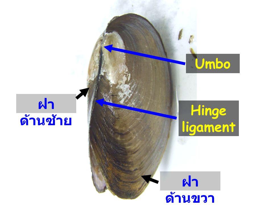 Umbo Hinge ligament ฝา ด้านซ้าย ฝา ด้านขวา