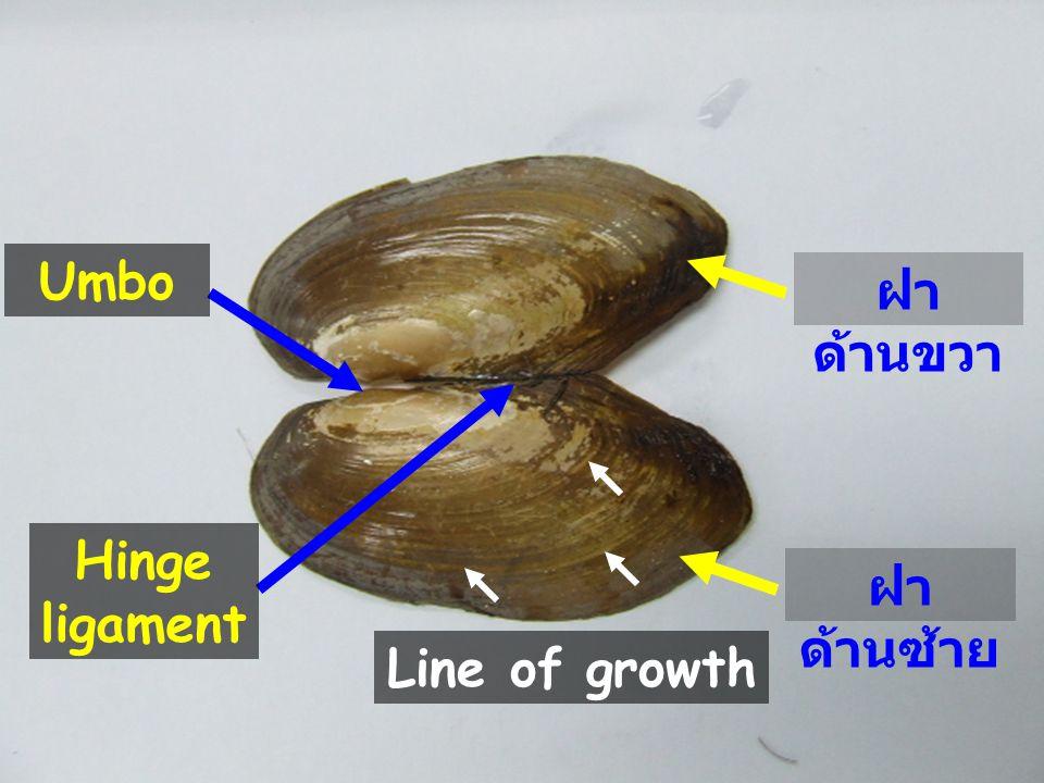 Umbo Hinge ligament ฝา ด้านซ้าย ฝา ด้านขวา Line of growth