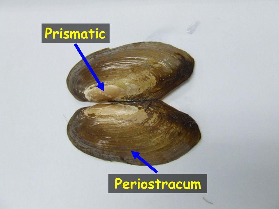 Periostracum Prismatic