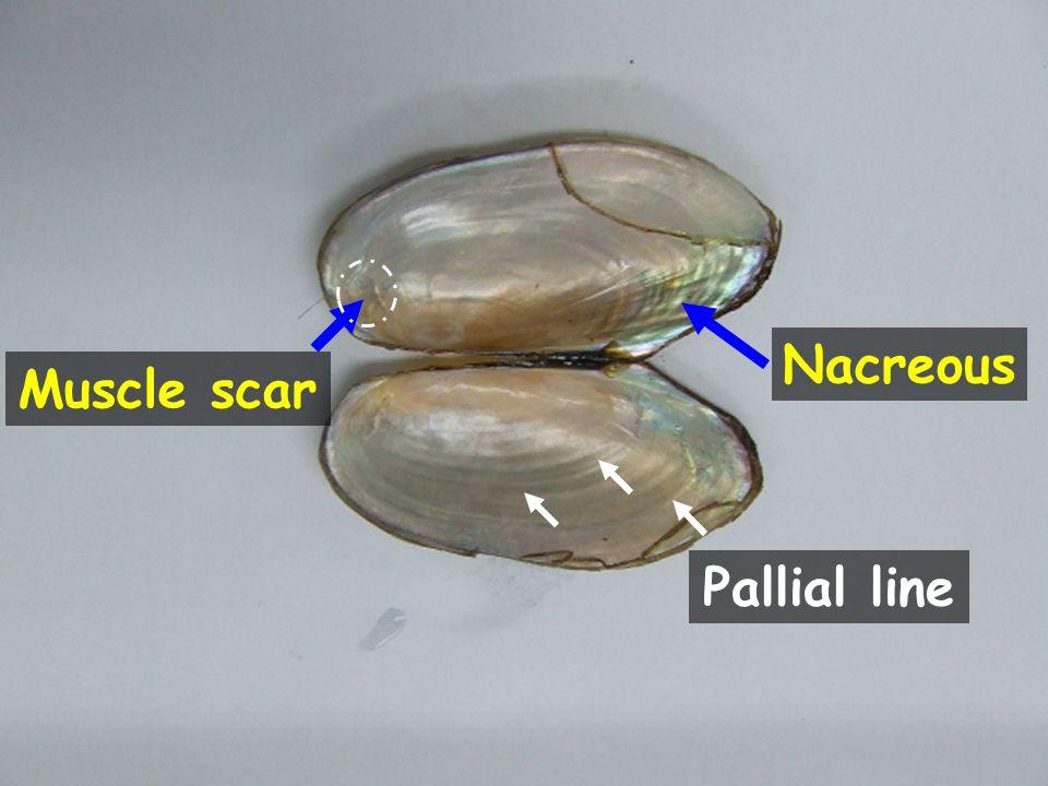 Nacreous Pallial line Muscle scar