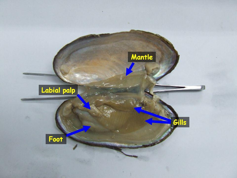 Labial palp Foot Gills