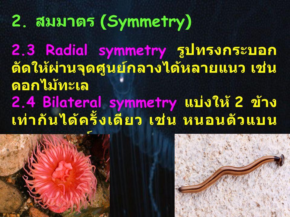 2. สมมาตร (Symmetry) 2.3 Radial symmetry รูปทรงกระบอก ตัดให้ผ่านจุดศูนย์กลางได้หลายแนว เช่น ดอกไม้ทะเล 2.4 Bilateral symmetry แบ่งให้ 2 ข้าง เท่ากันได