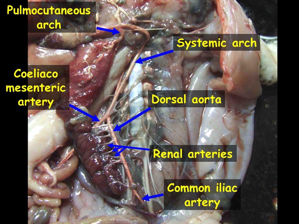 Pulmocutaneous arch Systemic arch Coeliaco mesenteric artery Dorsal aorta Renal arteries Common iliac artery