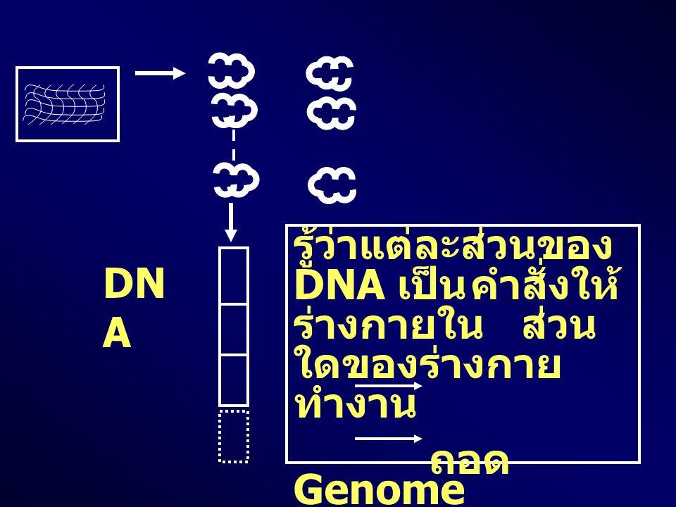 รู้ว่าแต่ละส่วนของ DNA เป็น คำสั่งให้ ร่างกายใน ส่วน ใดของร่างกาย ทำงาน ถอด Genome ทำแผนที่ DNA DN A