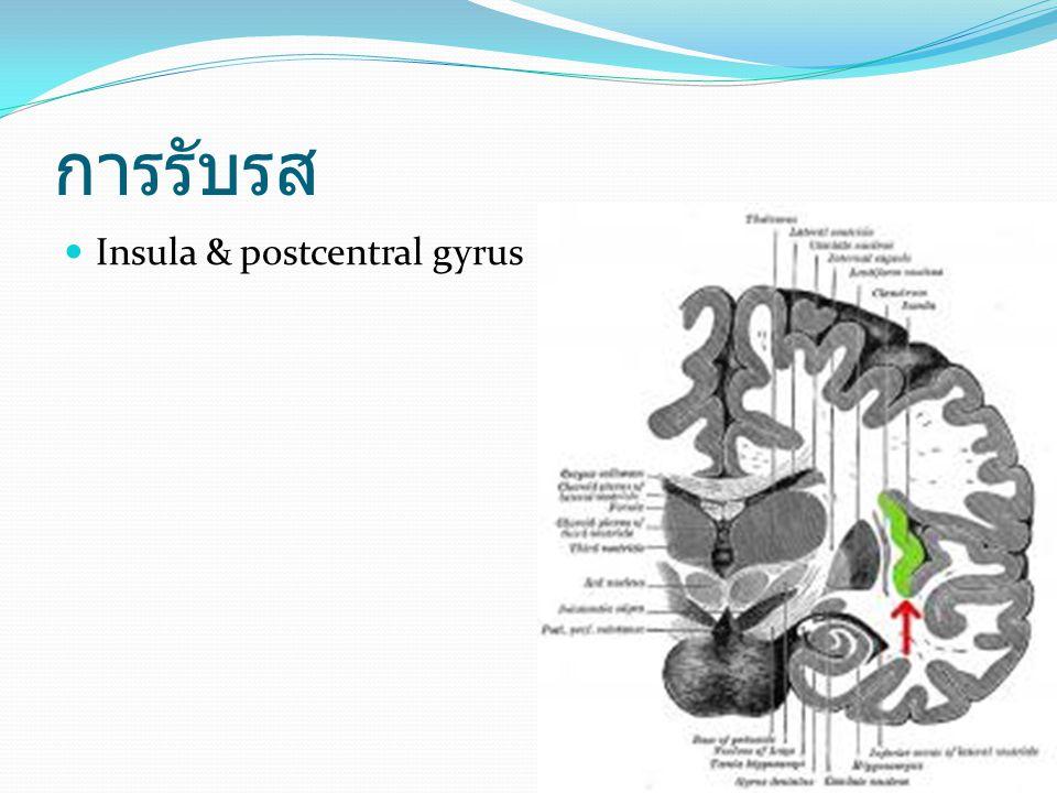 การรับรส Insula & postcentral gyrus