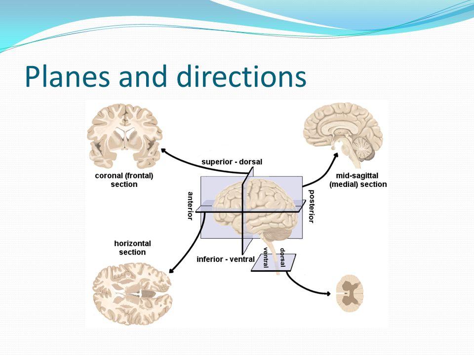 Nervous system : anatomically 1.CNS ( Central nervous system ) Brain Spinal cord 2.