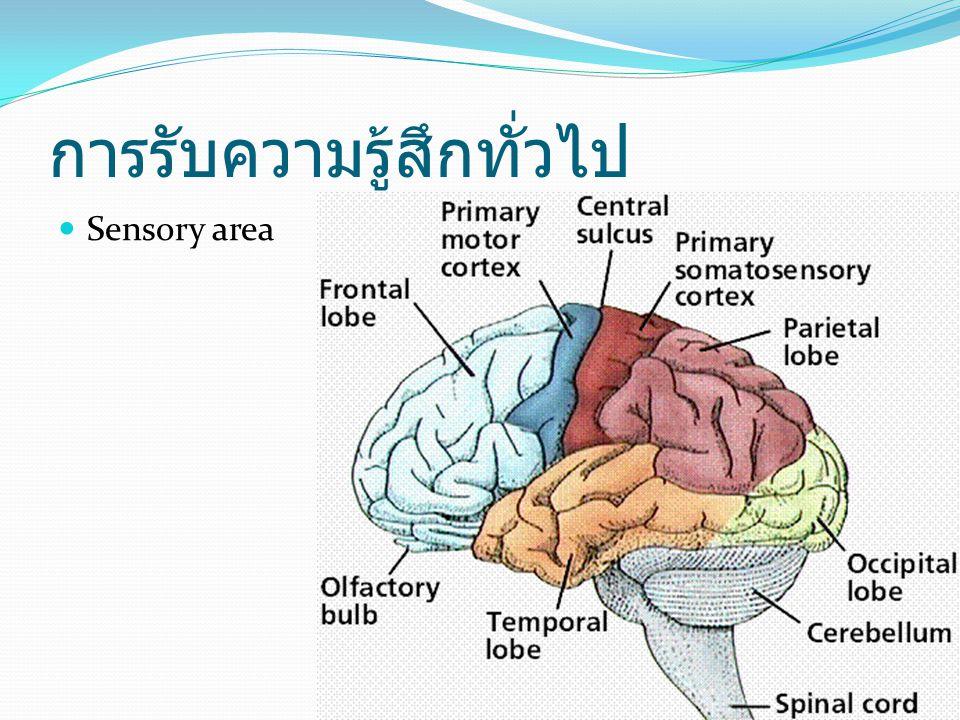 การรับความรู้สึกทั่วไป Sensory area